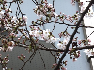 2014_0325桜S.jpg