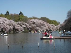 井の頭の桜.JPG