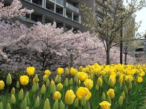 桜とチューリップ.JPG
