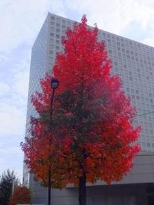 紅葉葉楓S.jpg