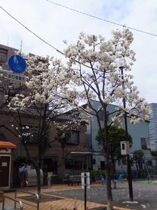 2015_0321木蓮.jpg