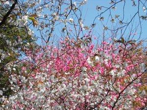 桃と桜.JPG