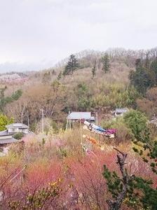 花見山鯉のぼり.jpg